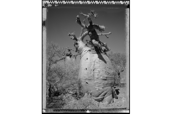 Baobab Tree, Madagascar series, 2010 by Elaine Lin