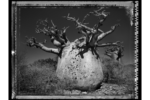 Baobab Tree, Madagascar series, #25, 2010